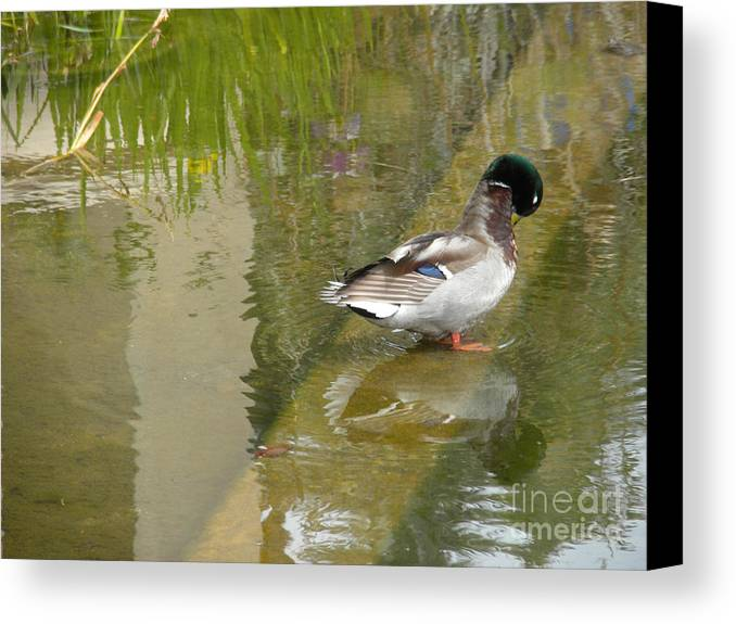 Nature Canvas Print featuring the photograph Duck On A Ledge by Silvie Kendall