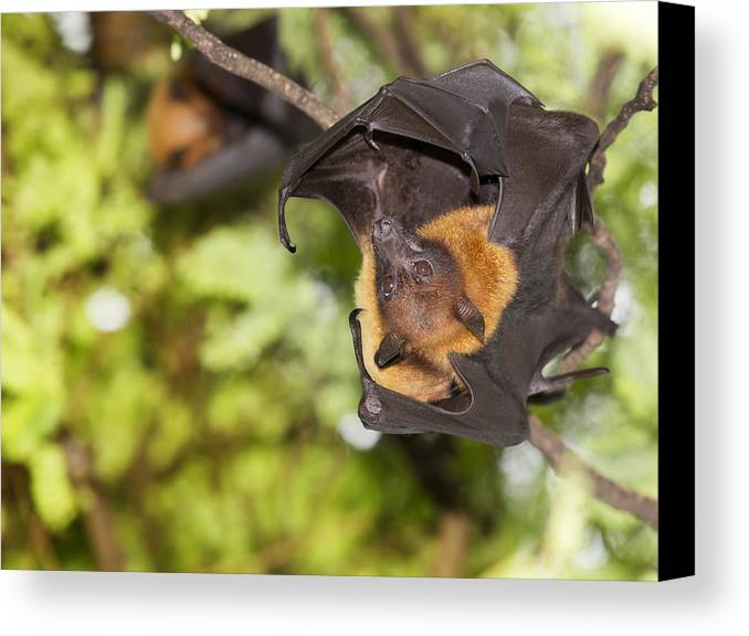 Halloween Canvas Print featuring the photograph Flying Foxes by Anek Suwannaphoom