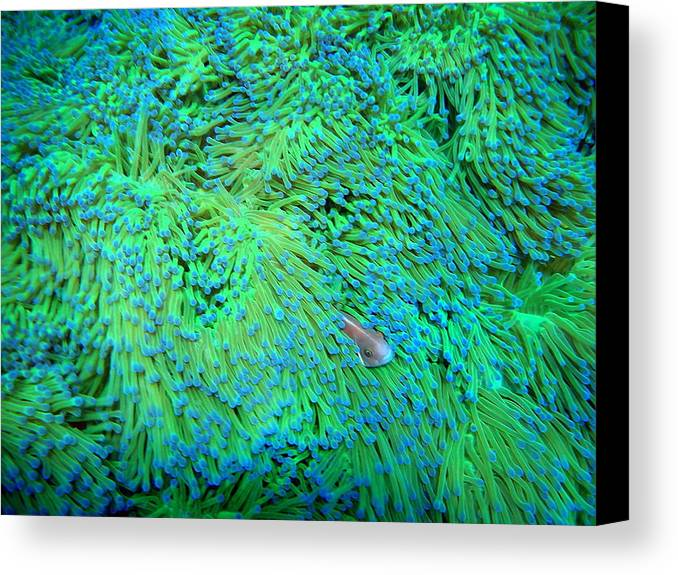 Horizontal Canvas Print featuring the photograph Pink Anemonefish by Takau99
