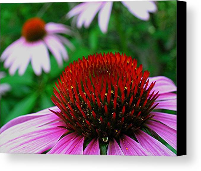 Purple Canvas Print featuring the photograph Coneflowers by Juergen Roth