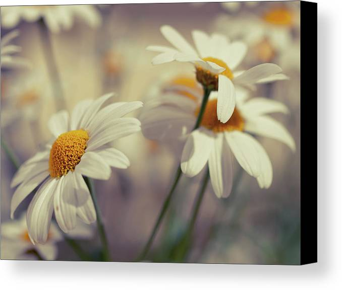 Horizontal Canvas Print featuring the photograph Oxeye Daisy Flowers by Haakon Nygård