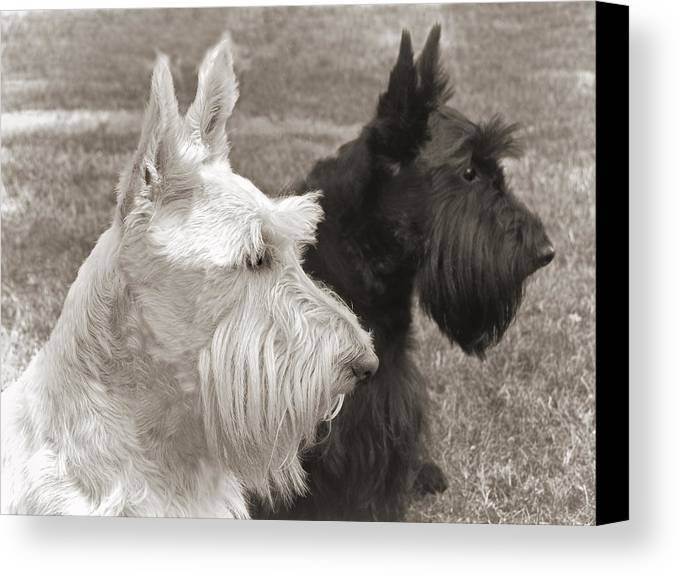 Scottish Terrier Canvas Print featuring the photograph Scottish Terrier Dogs In Sepia by Jennie Marie Schell