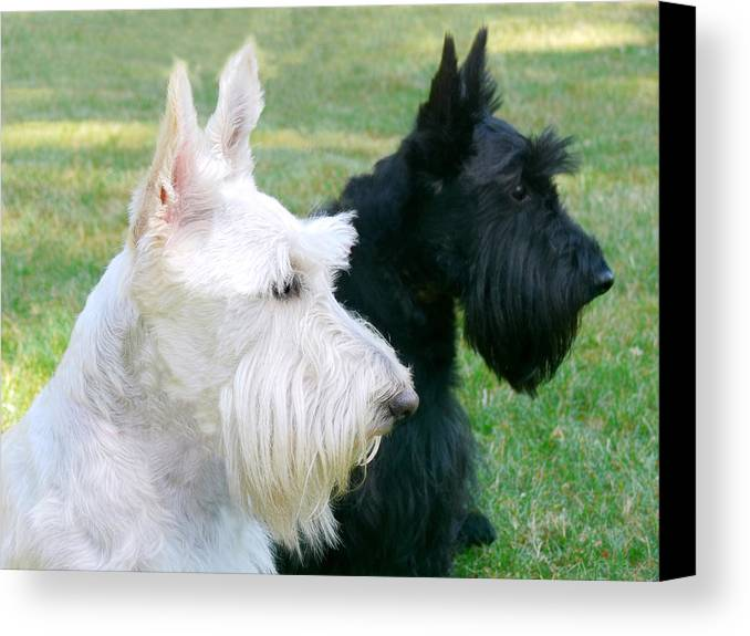 Scottish Terrier Canvas Print featuring the photograph Scottish Terrier Dogs by Jennie Marie Schell