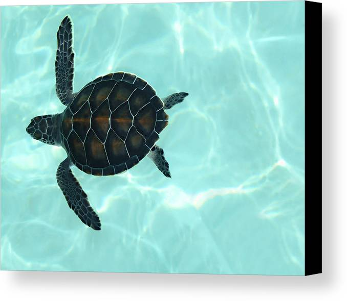 Baby Sea Turtle Canvas Print featuring the photograph Baby Sea Turtle by Ellen Henneke