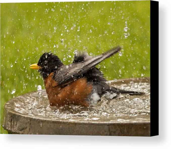 Robin Canvas Print featuring the photograph Bathing Robin by Inge Riis McDonald