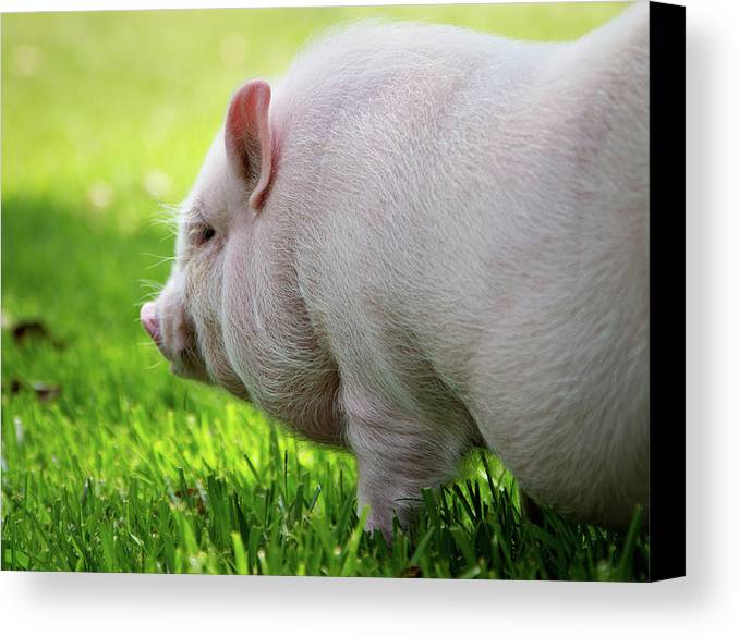 Horizontal Canvas Print featuring the photograph Potbelly Pig by Christopher Jenkins c/o www.luckyshotphotos.com