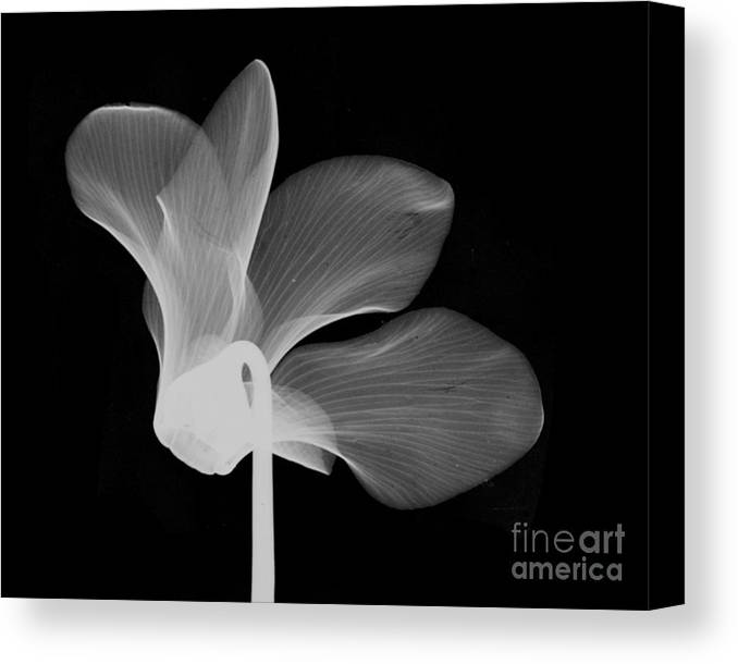 Nature Canvas Print featuring the photograph Cyclamen Flower X-ray by Bert Myers