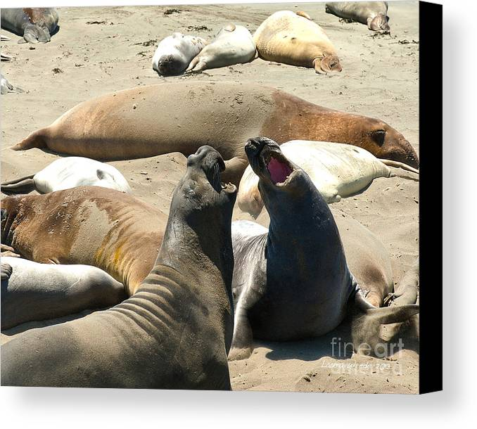 Big Sur Canvas Print featuring the photograph Elephant Seal Birthing Grounds Two Elephant Seal Bulls Fighting by Artist and Photographer Laura Wrede