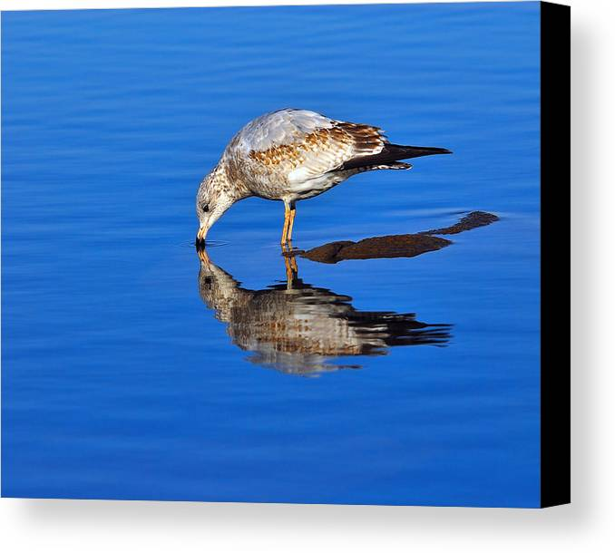 Ring-billed Gull Canvas Print featuring the photograph Juvenile Ring-billed Gull by Tony Beck