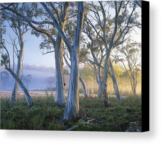 Color Image Canvas Print featuring the photograph Snowgums At Navarre Plains, South Of Lake St Clair. by Rob Blakers