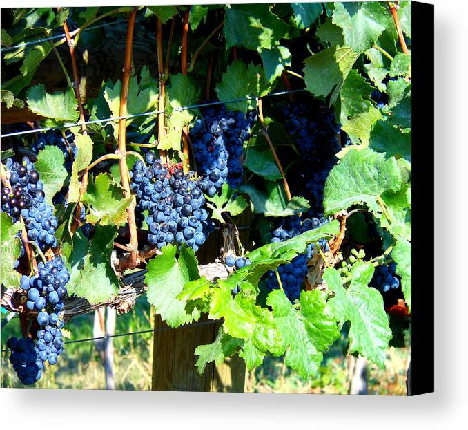 Grapes Canvas Print featuring the photograph Before The Harvest by Kay Gilley