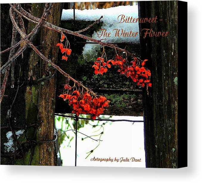 Bittersweet Canvas Print featuring the photograph Bittersweet The Winter Flower by Julie Dant