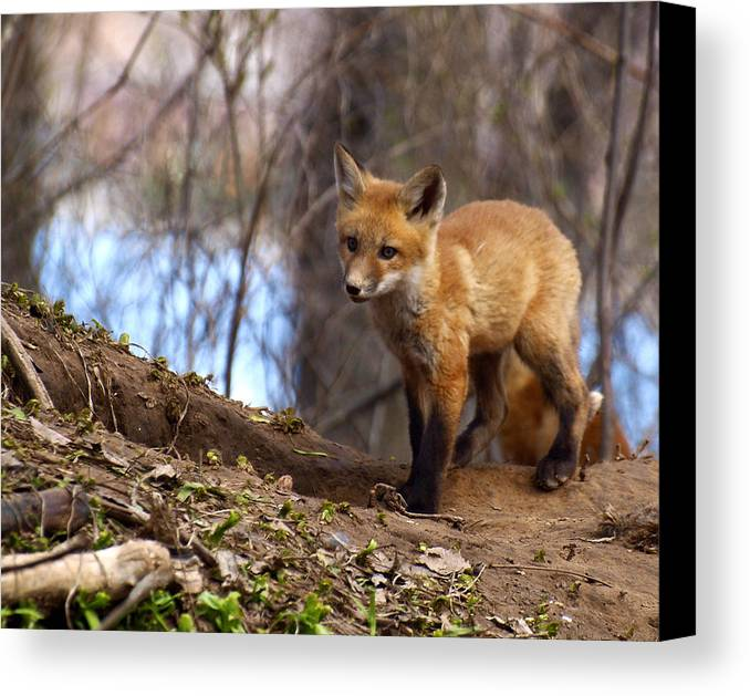 Fox Canvas Print featuring the photograph Going To The Den by Thomas Young