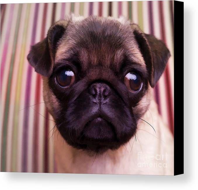 Pug Puppy Cute Dog Breed Portrait Pet Animal Toy Lap Canvas Print featuring the photograph Cute Pug Puppy by Edward Fielding