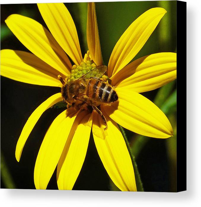 Bee Canvas Print featuring the photograph Australian Bee Snacktime by Margaret Saheed