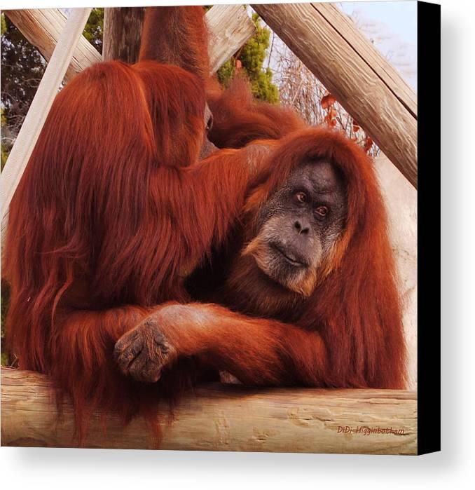 Orangutans Canvas Print featuring the photograph Orangutans Grooming by DiDi Higginbotham