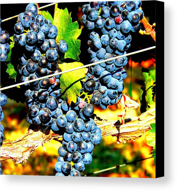 Grapes Canvas Print featuring the photograph Grapes On The Vine by Kay Gilley