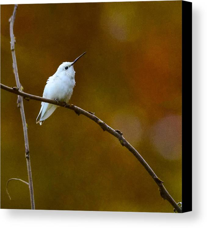 White hummingbirds