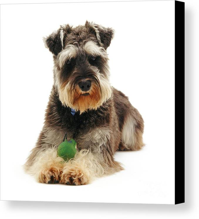 Dog Canvas Print featuring the photograph Miniature Schnauzer by Jane Burton