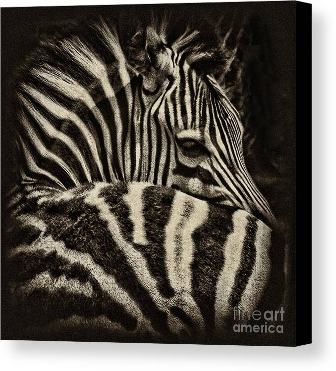 Zebra Canvas Print featuring the photograph Comfort by Andrew Paranavitana