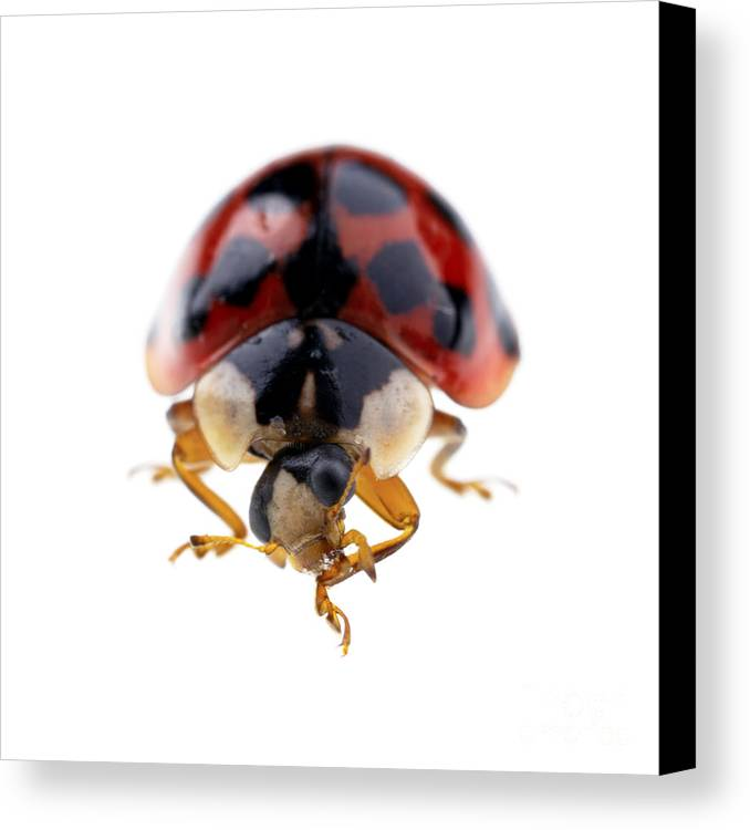 Animal Canvas Print featuring the photograph Ladybird Macro by Jane Rix