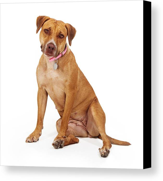 Animal Canvas Print featuring the photograph Mixed Breed Female Large Dog by Susan Schmitz