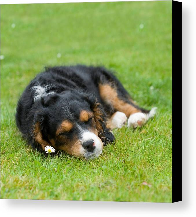 Pup Canvas Print featuring the photograph Puppy Asleep With Garden Daisy by Natalie Kinnear