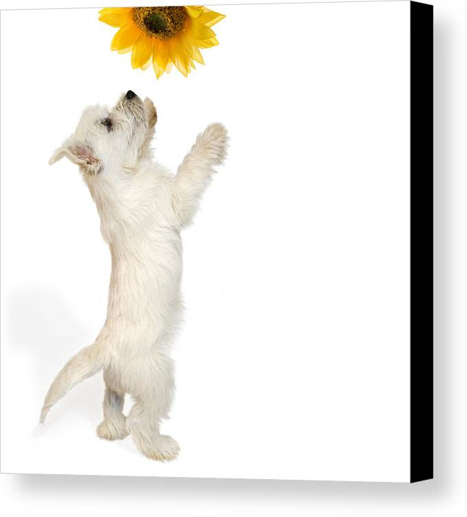 Photo Canvas Print featuring the photograph Westie Puppy And Sunflower by Natalie Kinnear