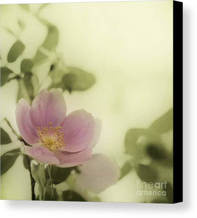 Rosa Acicularis Canvas Print featuring the photograph Where The Wild Roses Grow by Priska Wettstein