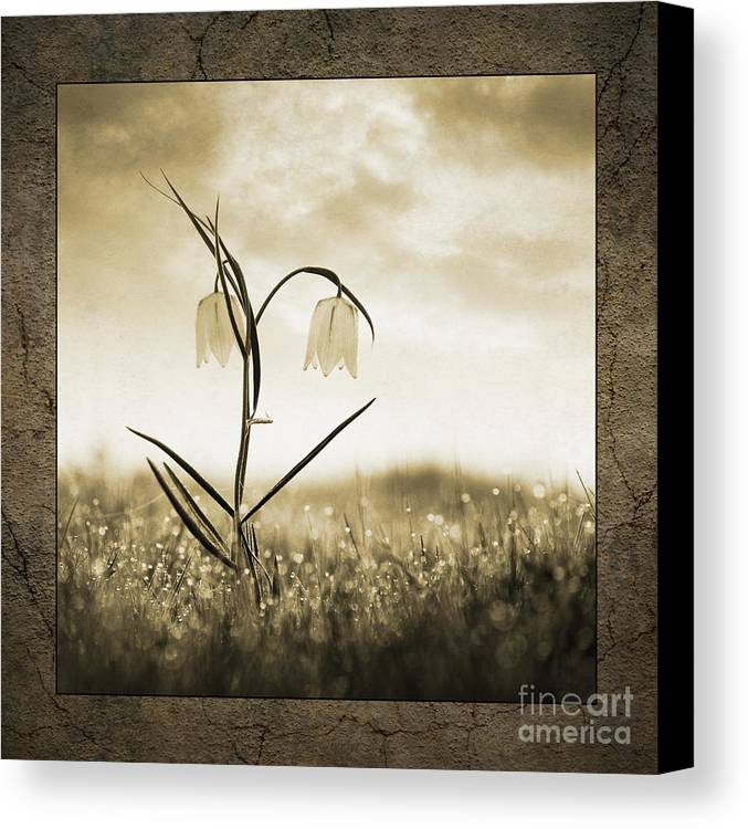 White Canvas Print featuring the photograph White Snakes Head Fritillary In Morning Dew by Tim Gainey