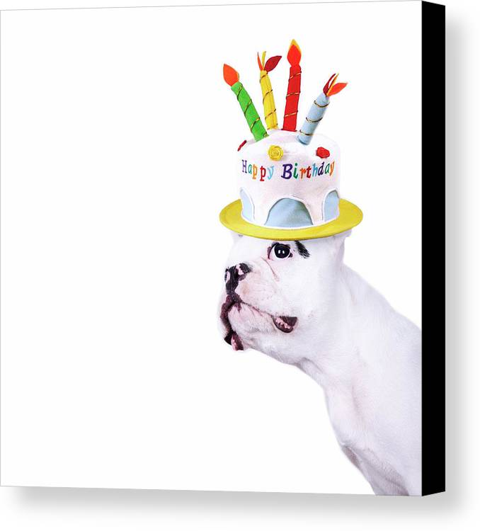 Square Canvas Print featuring the photograph French Bulldog With Birthday Cake by Maika 777