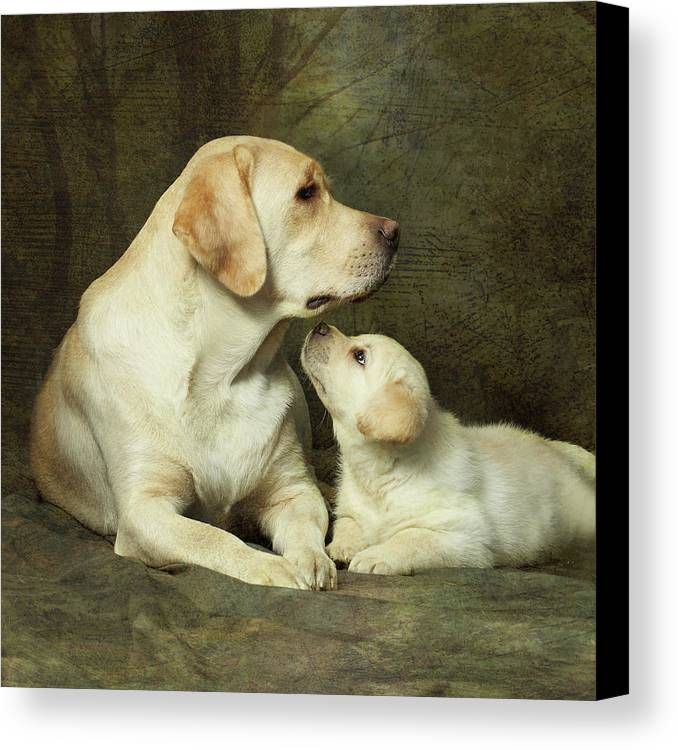 Square Canvas Print featuring the photograph Labrador Dog Breed With Her Puppy by Sergey Ryumin