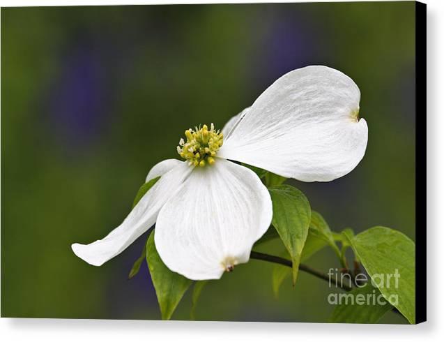 Dogwood Blossom - D001797 Canvas Print by Daniel Dempster