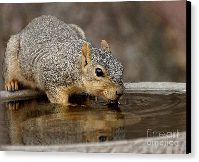 Fox Squirrel Canvas Print by Lori Tordsen