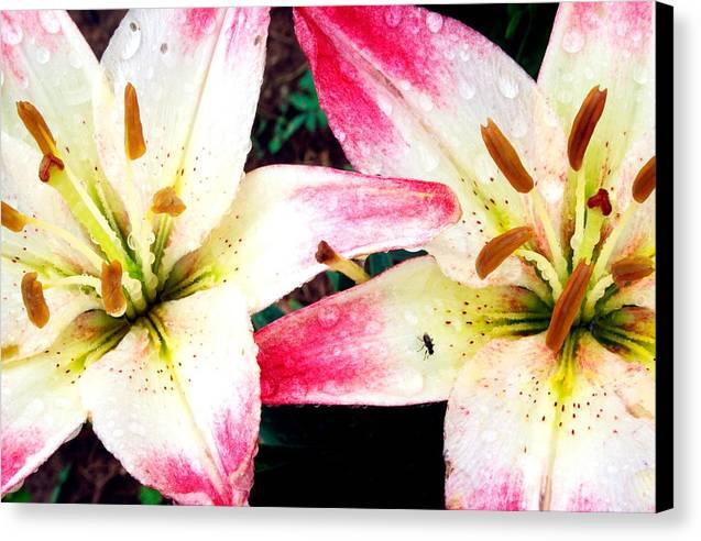 Dual Pinks II Canvas Print by Amanda Kiplinger