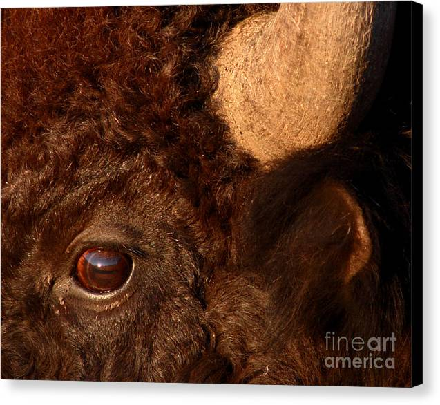 Sunset Reflections In The Eye Of A Buffalo Canvas Print by Max Allen