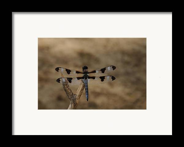 Dragonfly Framed Print featuring the photograph 12 Spotted Skimmer by Dick Todd