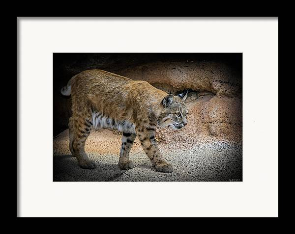Bobcats Framed Print featuring the photograph Bobcat by Elaine Malott