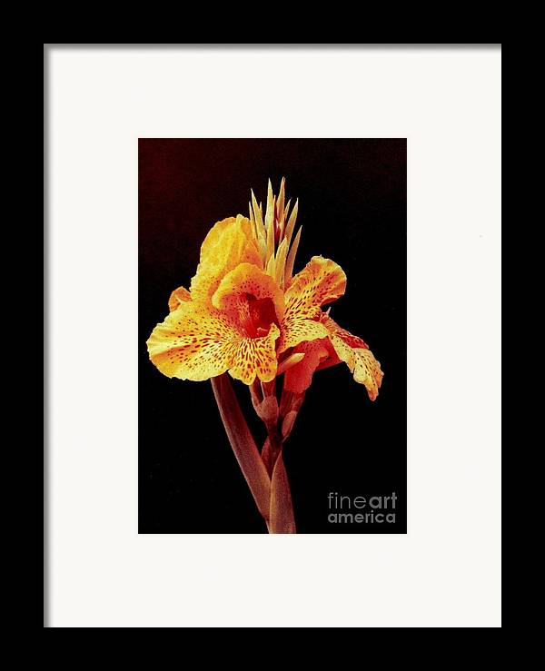 Canna Lilly Framed Prints Framed Print featuring the photograph Canna Lilly by Michael Hoard