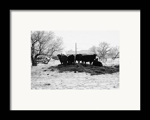 Feed Framed Print featuring the photograph feed and fresh grass laid out for cows on winter farmland Forget Saskatchewan Canada by Joe Fox