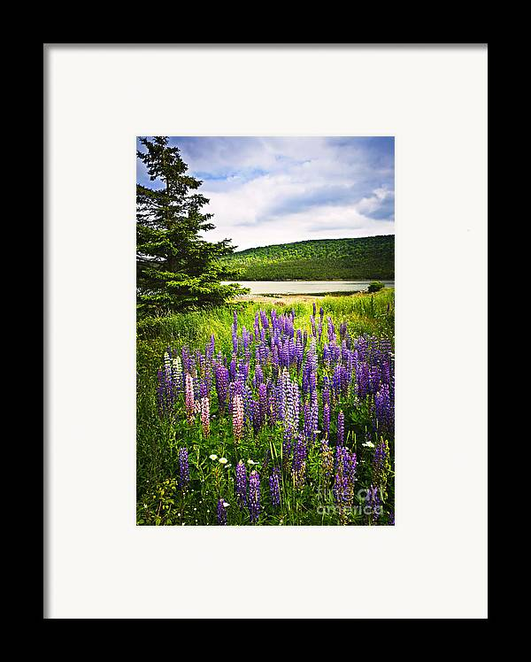 Flowers Framed Print featuring the photograph Lupin Flowers In Newfoundland by Elena Elisseeva