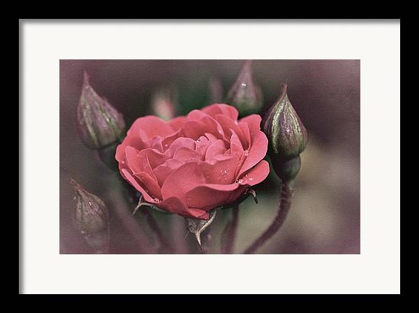 Rose Framed Print featuring the photograph Vintage Rose No. 4 by Richard Cummings