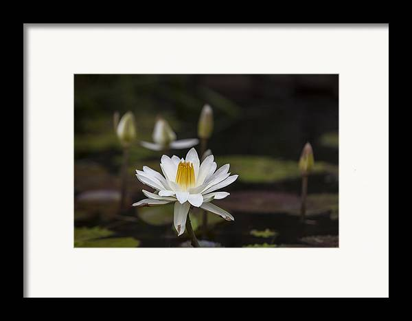 Water Lilly Framed Print featuring the photograph Water Lilly 6 by Charles Warren