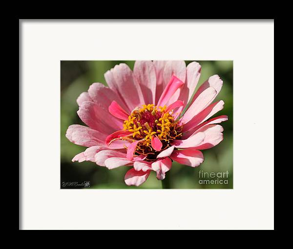 Mccombie Framed Print featuring the photograph Zinnia From The Whirlygig Mix by J McCombie