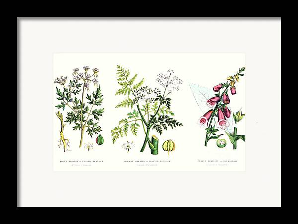 Botany; Botanical; Medicine; Medical; Plant; Flower; Flowers; Toxic Framed Print featuring the painting Common Poisonous Plants by English School