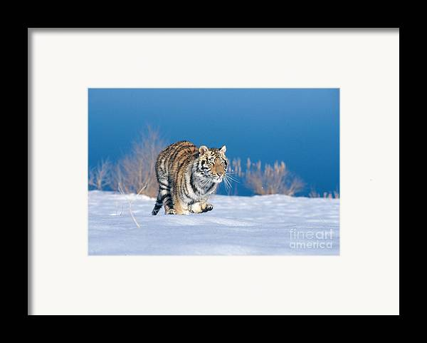 Animal Framed Print featuring the photograph Siberian Tiger by Alan Carey