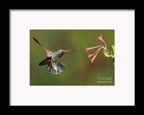Birds Framed Print featuring the photograph Broad Billed Hummingbird by Scott Linstead