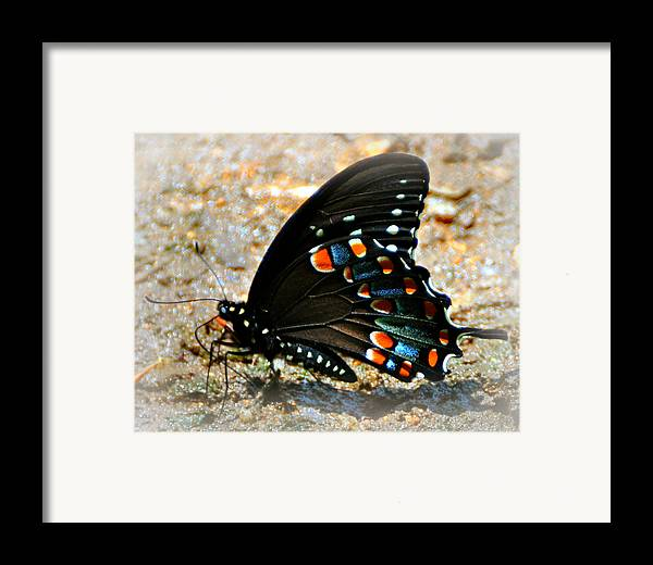 Butterfly Framed Print featuring the photograph A Real Beauty by Marty Koch