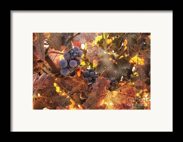 Michele Framed Print featuring the photograph Autumn In The Vineyard by Michele Steffey