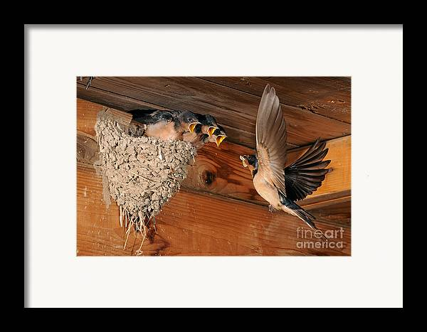 Barn Swallow Framed Print featuring the photograph Barn Swallow Nest by Scott Linstead